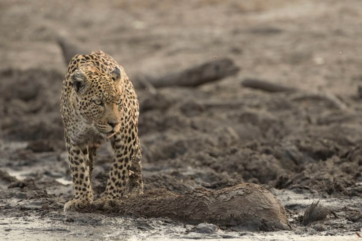 "A leopard dubbed ""Torn Ear,"" featured in Nat Geo WILD's miniseries ""Savage Kingdom."""