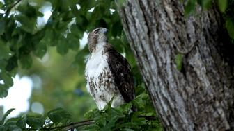 A red-tailed hawk perches on a tree on the north grounds of the White House in Washington June 26, 2015.  REUTERS/Gary Cameron