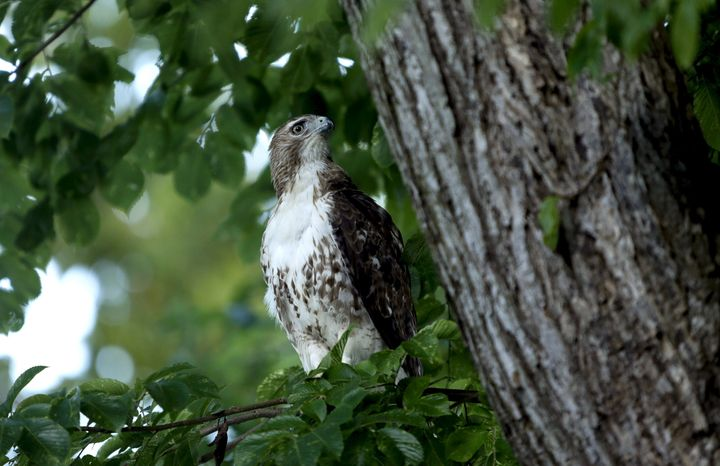 A red-tailed hawk perches on a tree on the north grounds of the White House in Washington June 26, 2015.