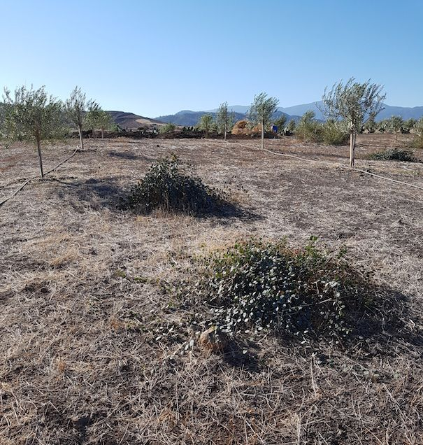 Year old Kalamon olive trees with mounds of capers.