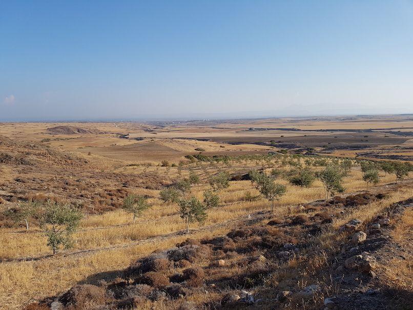 Dry farming Kalamon variety olive trees, Cyprus