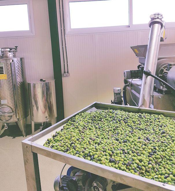 September harvest of Kalamon olives.