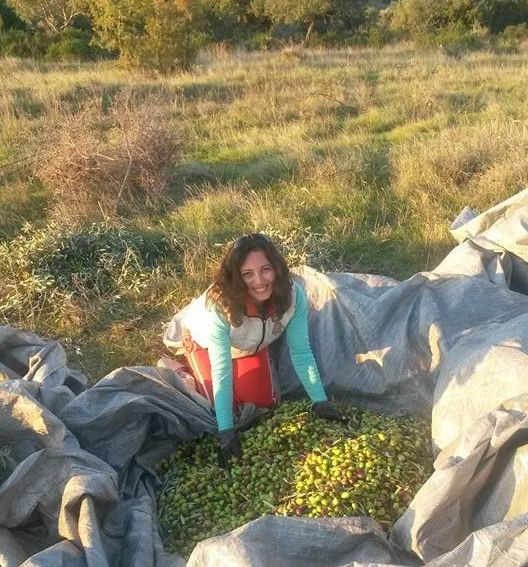 Golden Tree olive harvest 2016