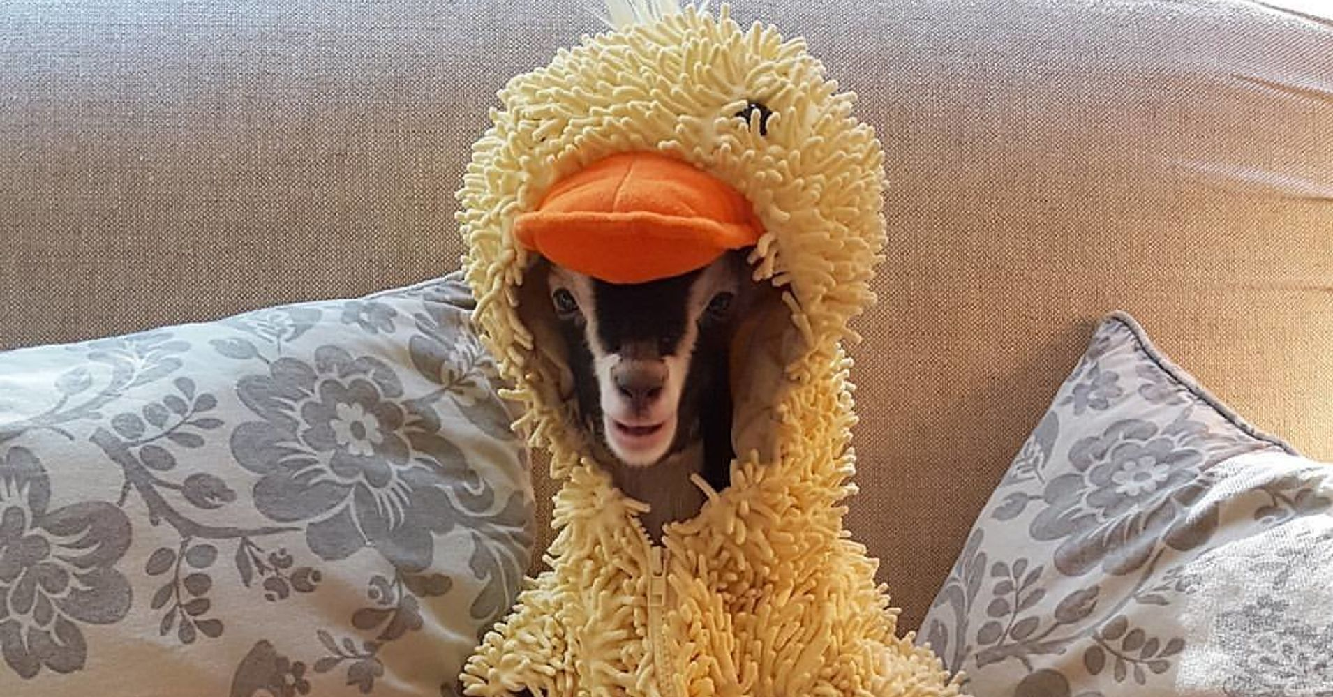 Baby Goat Can Only Truly Relax When Dressed As A Duck | HuffPost