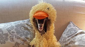 Polly a sixmonth old goat in Annandale New Jersey suffers from anxiety but finds being dressed as a duck to be very calming
