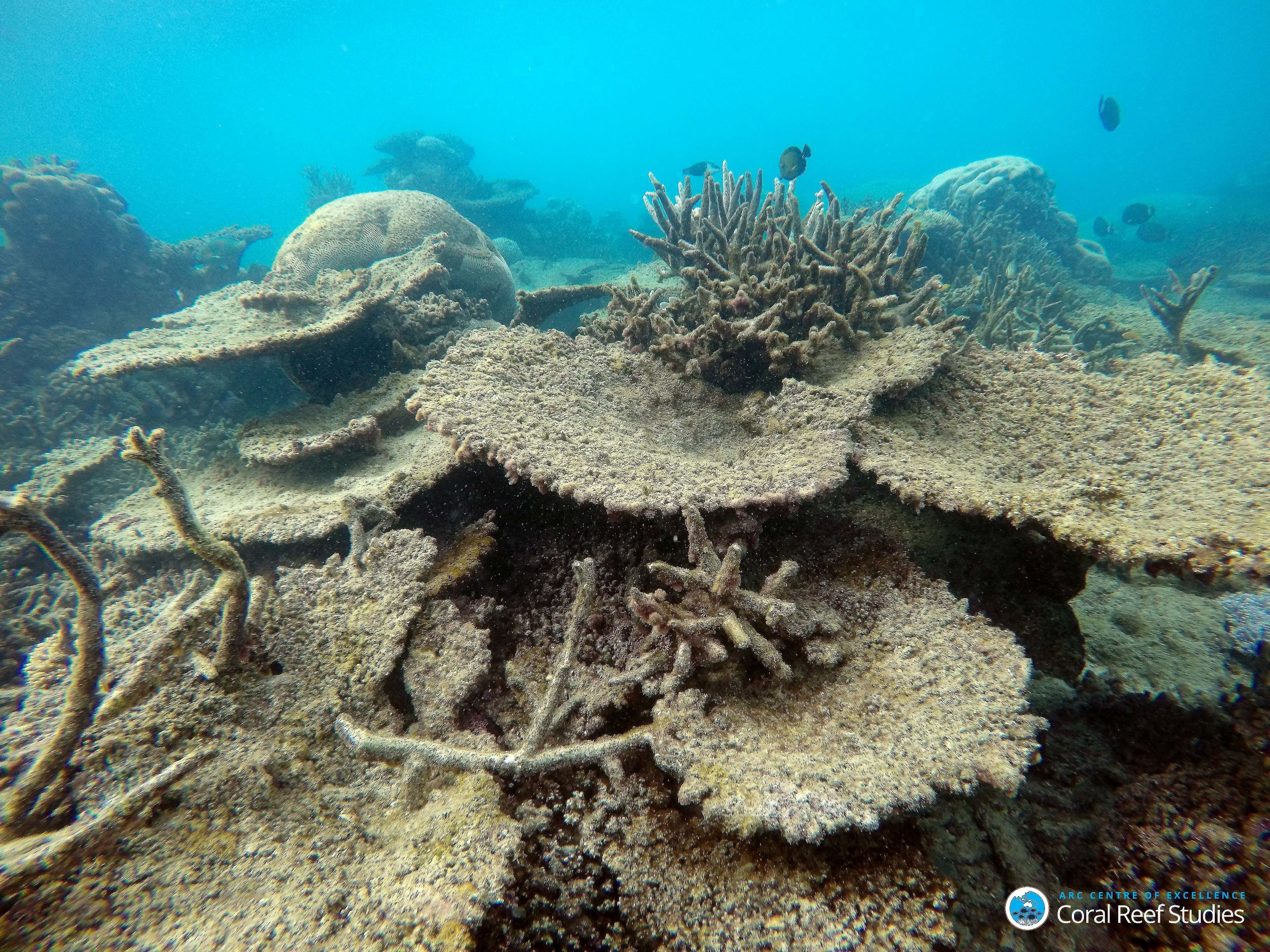 Dead table corals killed by bleaching on the Great Barrier Reef.