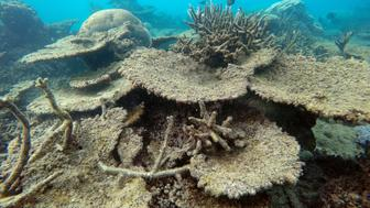 Dead table corals killed by bleaching on Zenith Reef on the Northern Great Barrier Reef November 2016