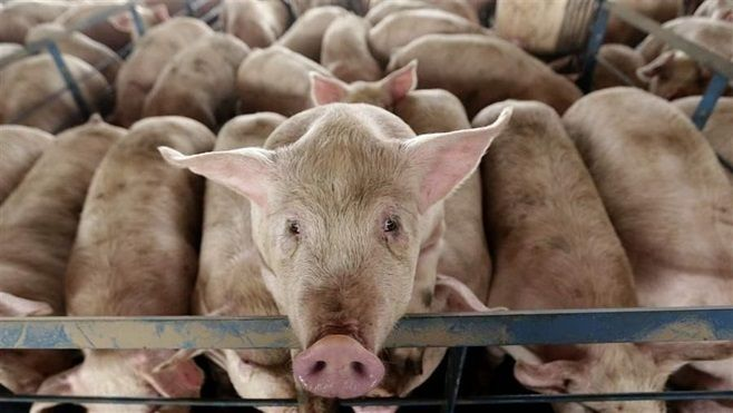 A pig looks out from a pen at a hog feeding operation near Tribune, Kansas. As more states pass laws regulating the treatment