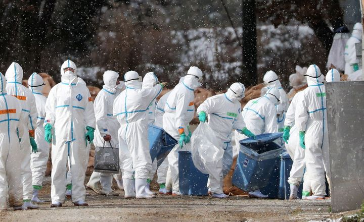 Workers wearing protective suits cull ducks after some tested positive for H5 bird flu at a poultry farm in Aomori, northern Japan. November 29, 2016.