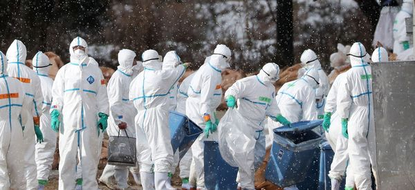 Highly Contagious Bird Flu Outbreak Prompts JapanTo Kill 300,000 Chickens And Ducks