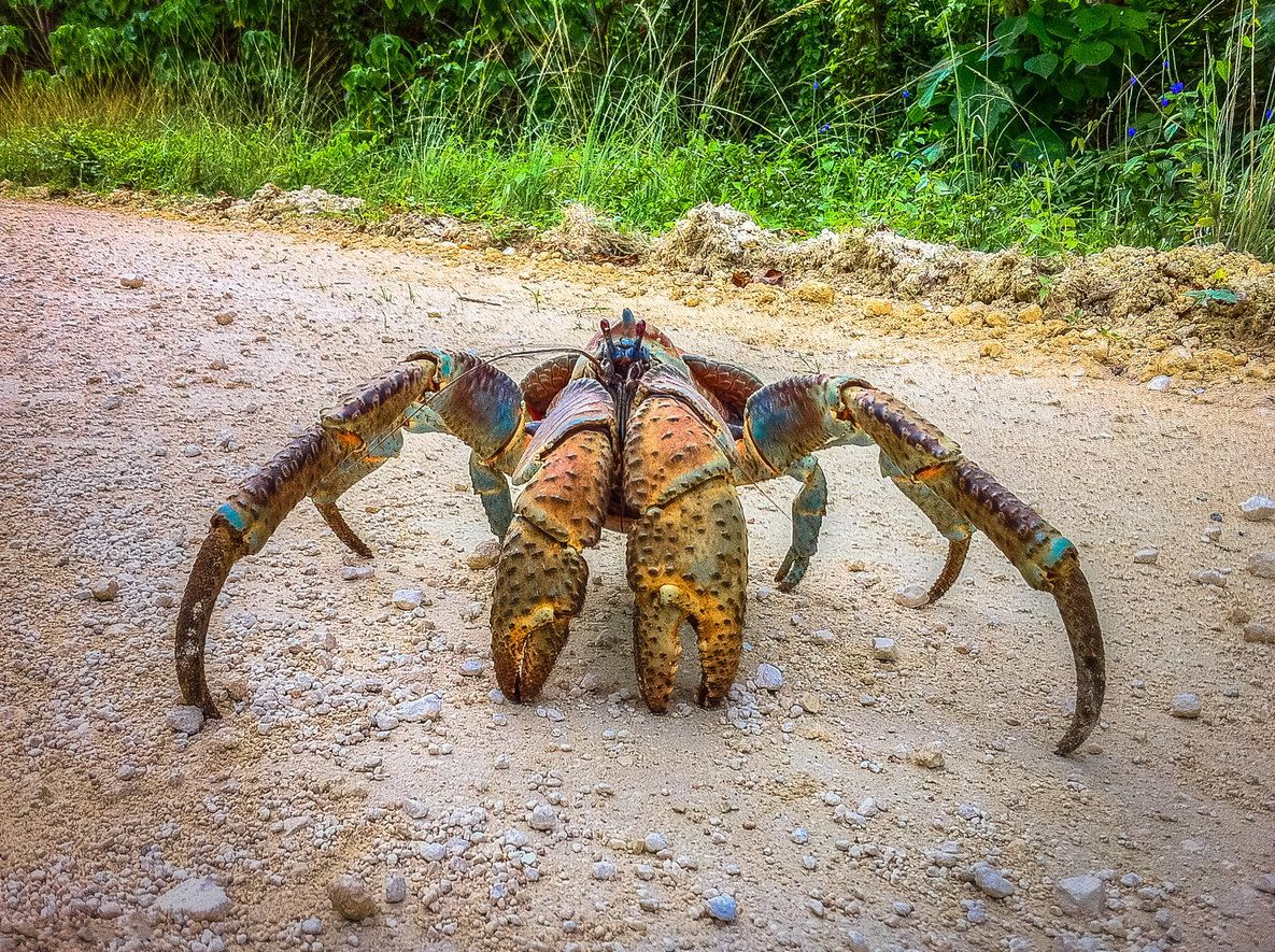 "Coconut crabs can <a href=""http://www.arkive.org/coconut-crab/birgus-latro/"" target=""_blank"">grow as big as nine pounds and t"