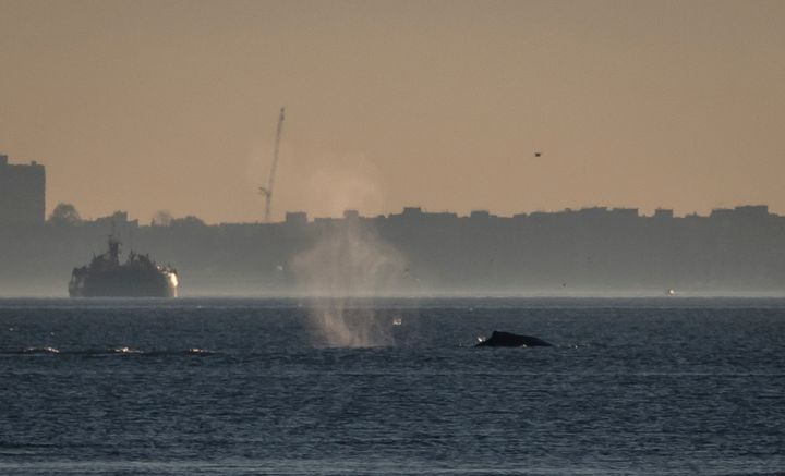 A humpback whale is spotted heading south in the Hudson River near the George Washington Bridge on Nov. 16.