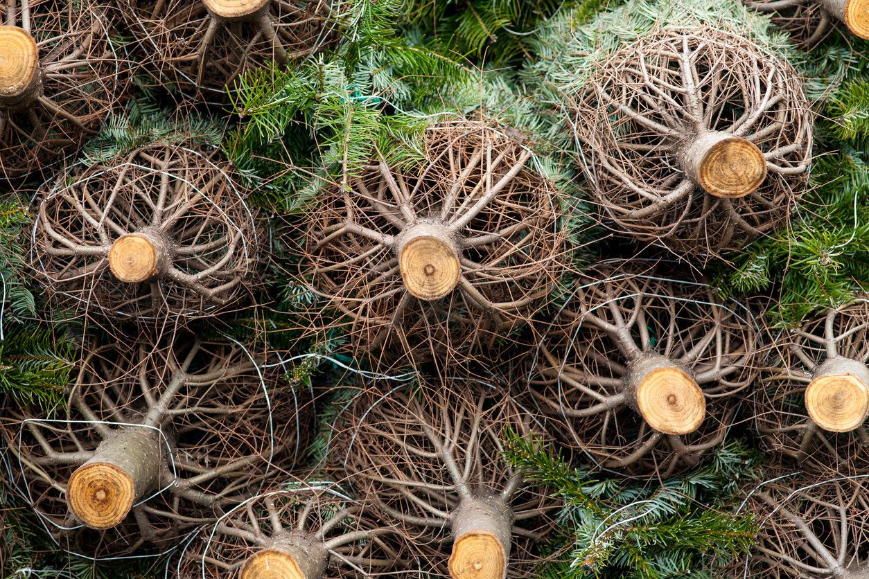 Christmas Trees Are Dying From Drought | HuffPost