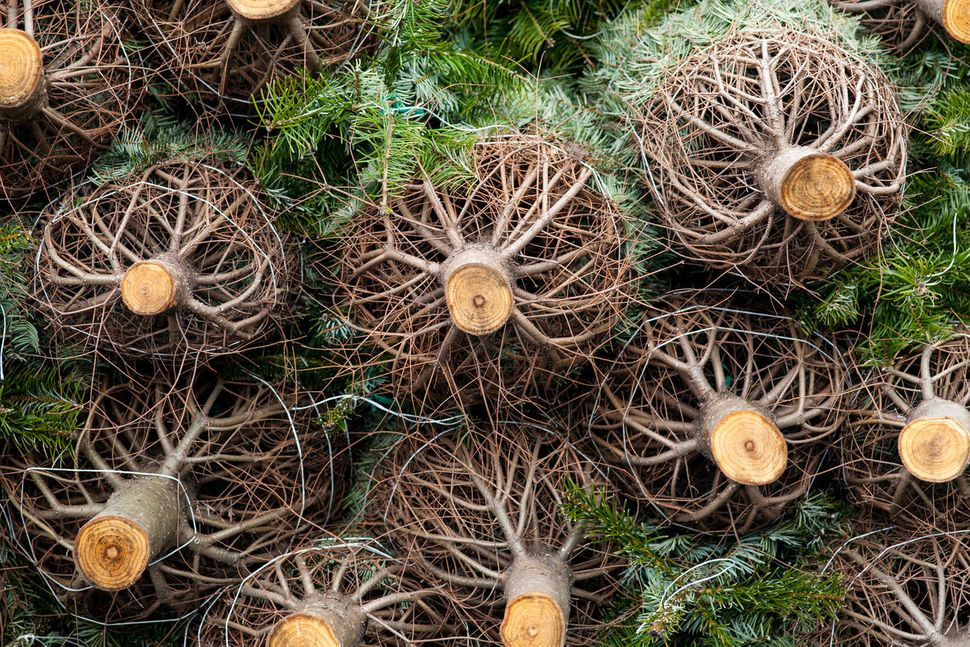 Dry Christmas trees can bea fire hazard. People have been warned to keep their trees amply watered this year, and to fo