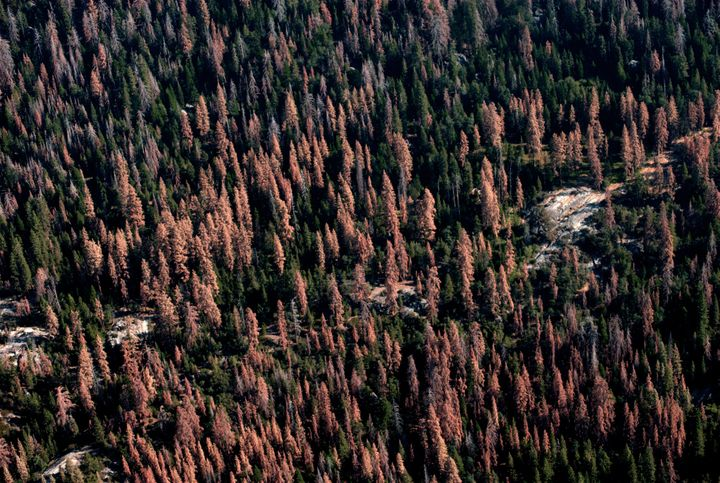 In 2016 alone, 62 million trees died in California's forests, said the U.S. Forest Service. This represents more than a 100 p