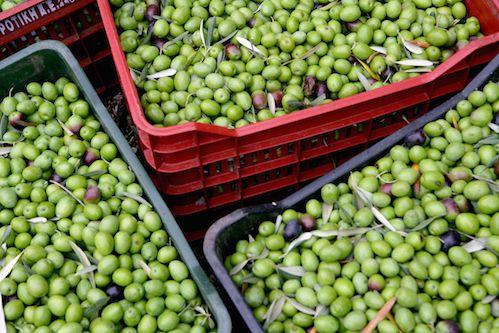 Freshly harvested green olives.