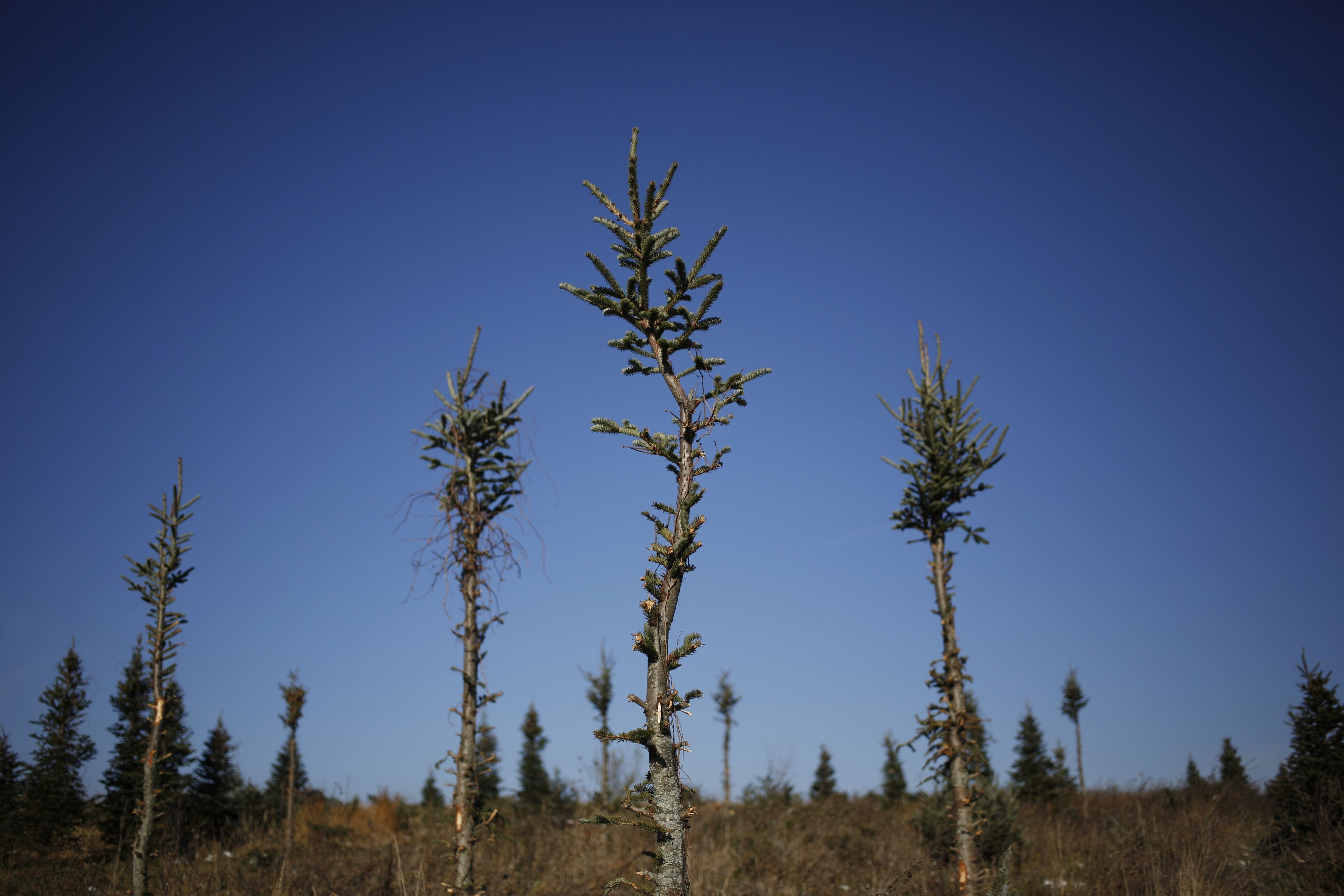 Christmas Trees Are Dying From Drought Huffpost