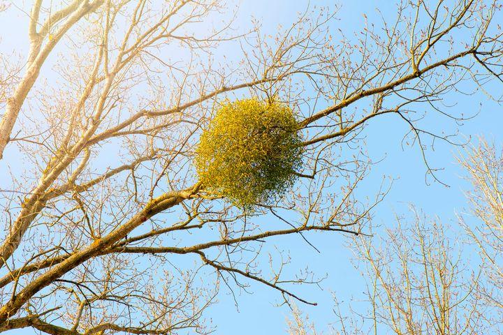 So Mistletoe Is Actually A Tree Sucking Parasite Huffpost Life