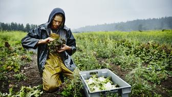 Farmer harvesting organic red leaf lettuce in rain on farm