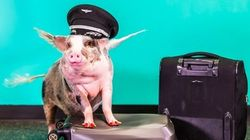 San Francisco Airport Just Got A Real Life Therapy Pig Called