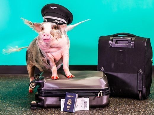Lilou, atherapy pig, is helping de-stress visitors to San Francisco International