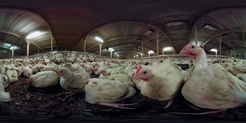 Animal Equality's 360 degree virtual reality film shows viewers what life is like for chickens on factory