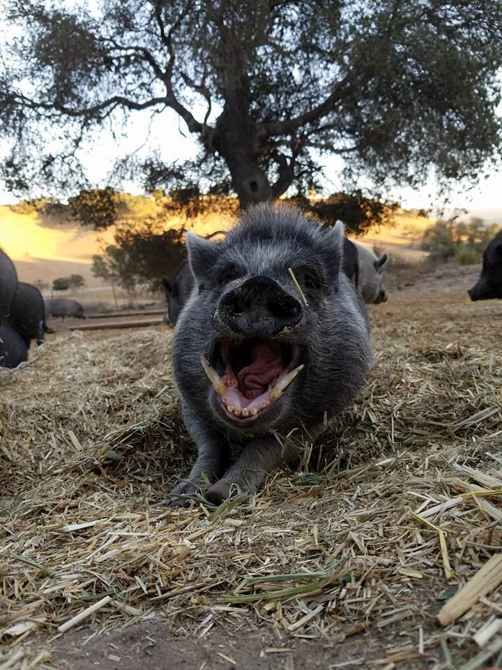 Teacup Pigs Are the Cutest Scam in the World | HuffPost