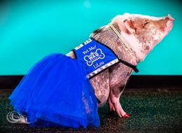 This Therapy Pig Works At An Airport To Soothe Anxious Passengers