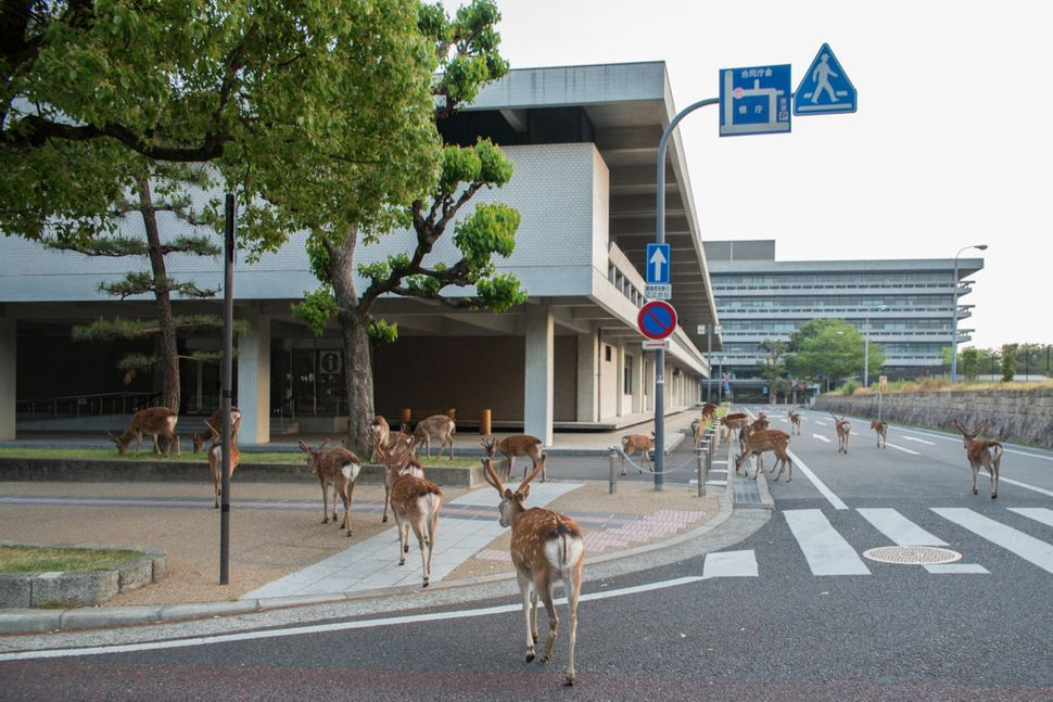 In Nara city, deer go to work for doing lawn.