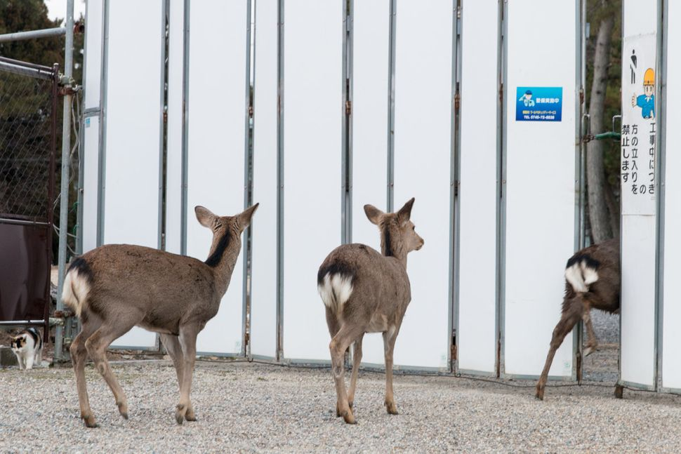 Deer neglected the no-entry sign and entered in the area under construction.