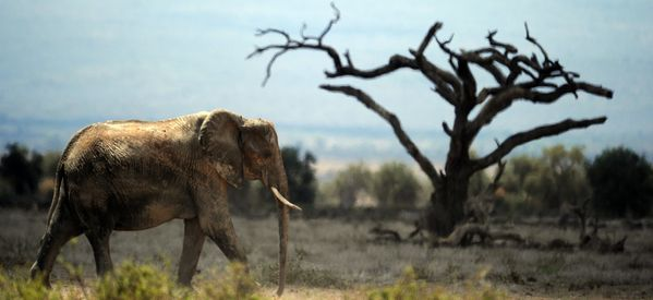 African Elephants May Need China To Save Them From Extinction