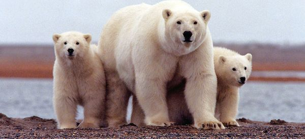Scientists Predict Dire News For Polar Bears
