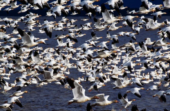 A flock of snow geese (not in Butte, Montana).