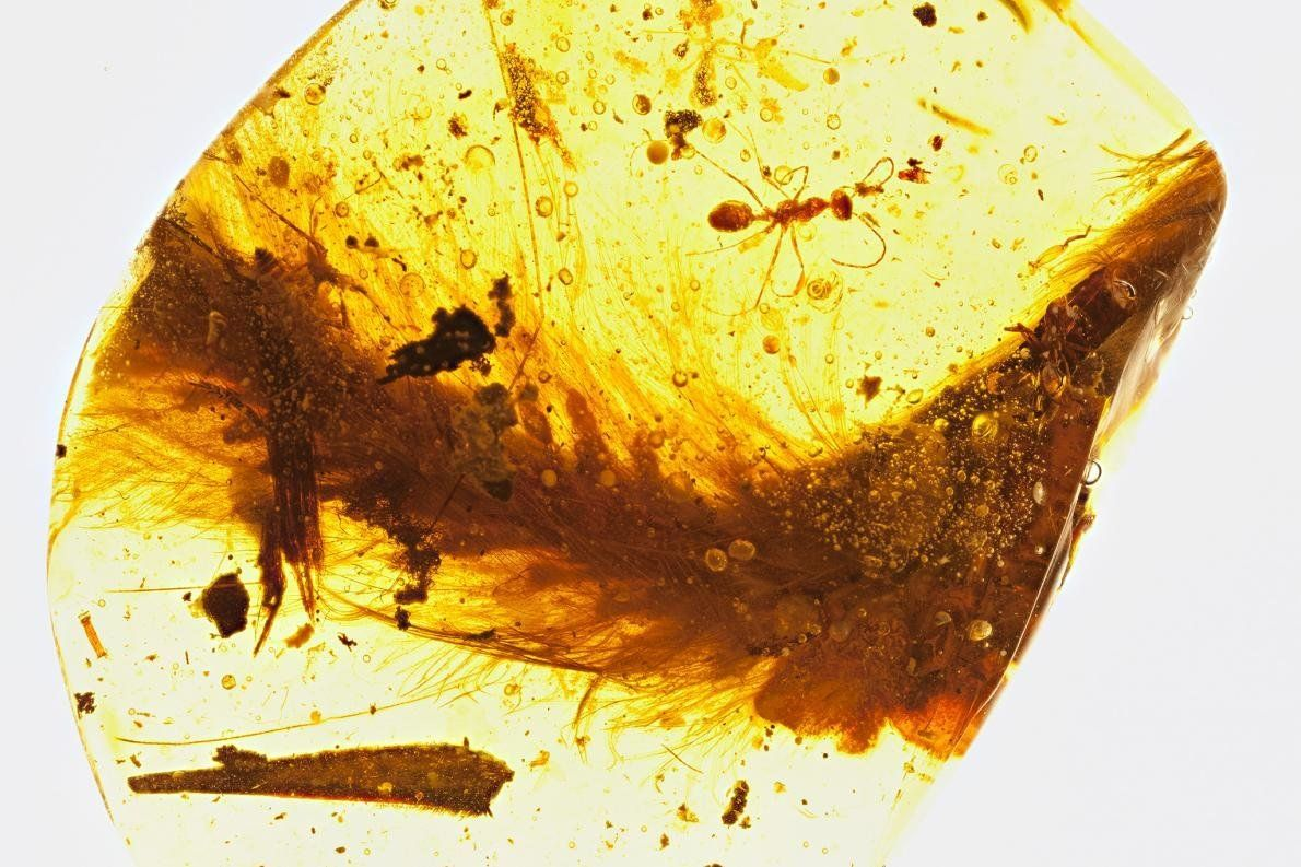 Tiny feathered tail of a 99-million-year-old dinosaur the size of a sparrow is shown captured in amber.