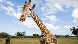 Giraffes Are Going Silently Extinct, As Crisis 'May Be Greater' Than Previously