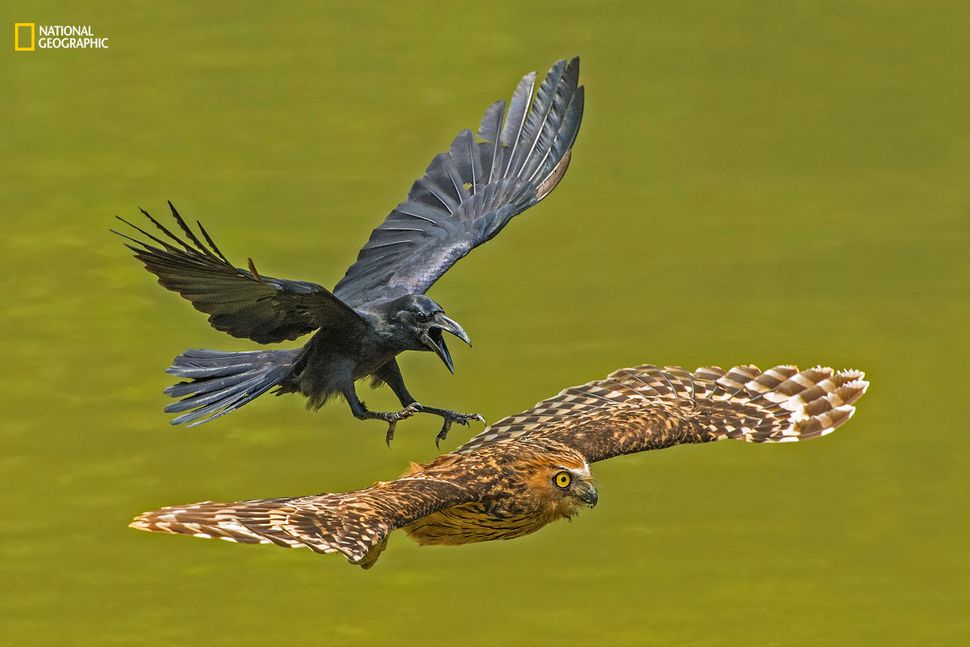 """Lawrence Chia Boon Oo: """"The Crow saw the Puffy Owl resting and decided to chase away the Owl from its territory."""""""