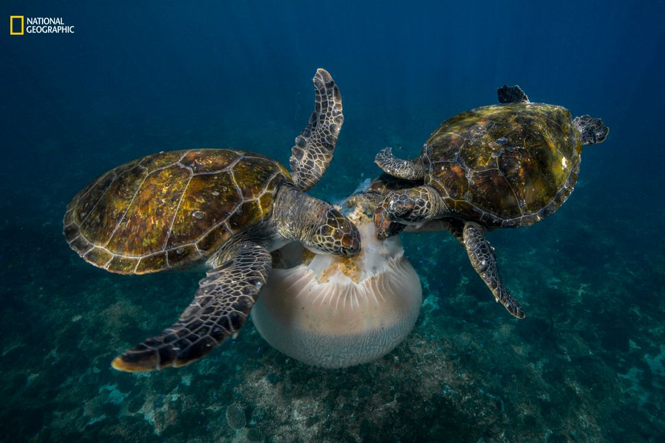 """Scott Portelli: """"I came across this jellyfish on a dive in Byron Bay, Australia. At the time there was a single turtle eating"""
