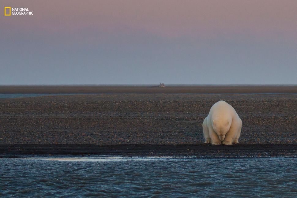 """Patty Waymire: """"A solitary bear sits on the edge of Barter Island, Alaska. There is no snow when, at this time of year, there"""