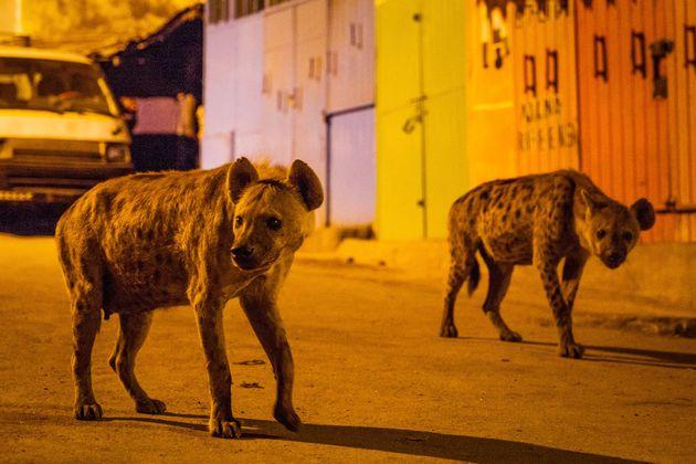 Hyenas in
