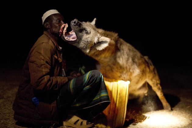 Yusef feeds the hyenas by hand, proving he is far braver than we will ever