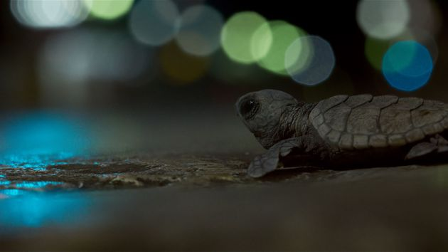 'Planet Earth II' Viewers Left Distraught Over Fate Of Baby Turtles In Series Finale… But There's A Happy