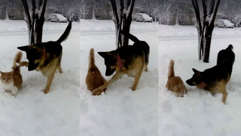 A cat was filmed getting her face planted in the snow by a dog