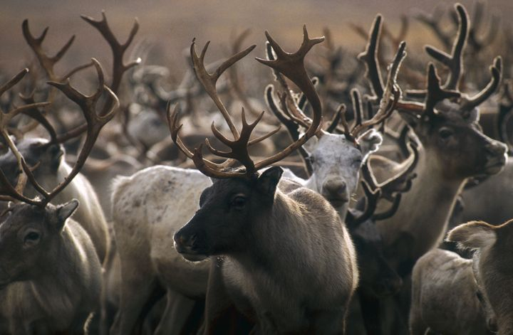 Reindeer are starvingand could face a mass die-off amid global warming, scientists warn.