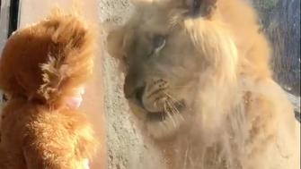 An 11-month-old boy dressed like a lion came face-to-face with his four-legged doppelganger