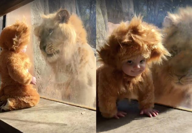 The 11-month-old boy easily became a fascinating new playmate for the lion, which watched from the other...