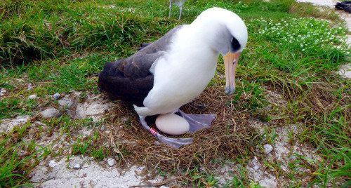 Wisdom, a Laysan albatross, has plenty of experience with this whole