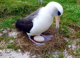 World's Oldest Known Wild Bird Is Expecting A New Chick