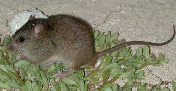 "The <a href=""http://www.iucnredlist.org/details/13132/0"" target=""_blank"">Bramble Cay melomys</a> had numbered in the hundreds"