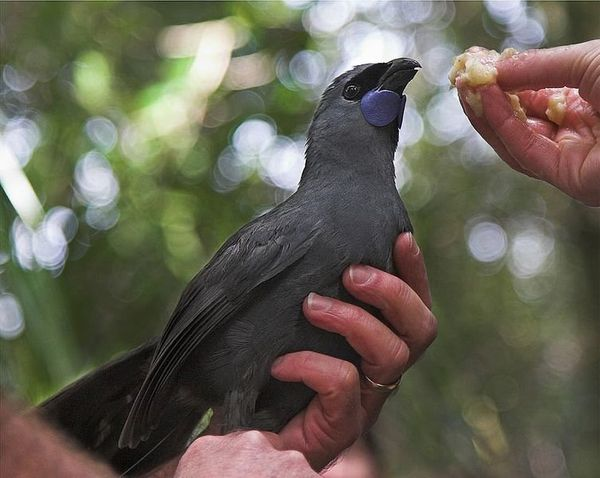 "An ancient bird once widespread in the forests of southern New Zealand, the <a href=""http://www.iucnredlist.org/details/10373"