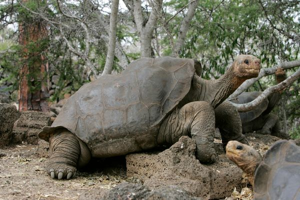 "When Lonesome George died at the age of 100 in 2012, <a href=""http://www.nytimes.com/2012/07/03/science/death-of-lonesome-geo"